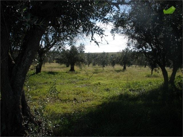 Gaj oliwny w Portugalii, źródło casasapo.pt